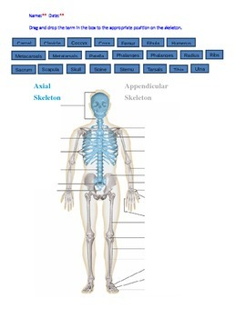 Skeletal System Drag and Drop with KEY
