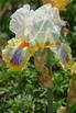 Spring Flowers: Poppy, Iris, Tulip, Hyacinth,  Lilac, Daff