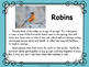 Spring: Robins Informational for Primary Grades and Build