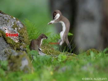 Stoat - Power Point - Information Facts Pictures