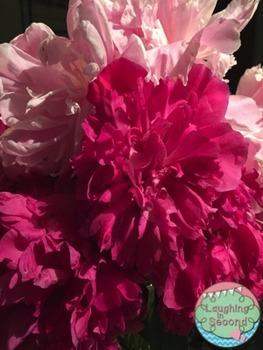 Stock Photo - Peonies Flowers