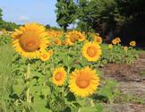 Stock Photo: Roadside Sunflower