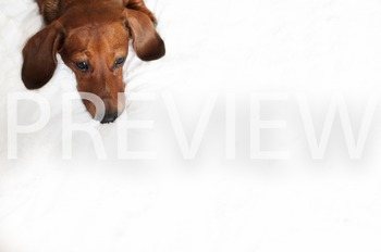 Stock Photo: Puppy Dog Patiently Waiting -Personal & Comme