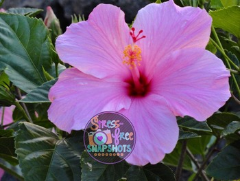 Stress-Free Stock Photo - Pink Flower