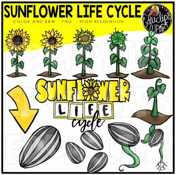 Sunflower Life Cycle Clip Art Bundle {Educlips Clipart}