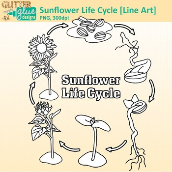 Sunflower Life Cycle Clip Art {Spring Plant Graphics for S