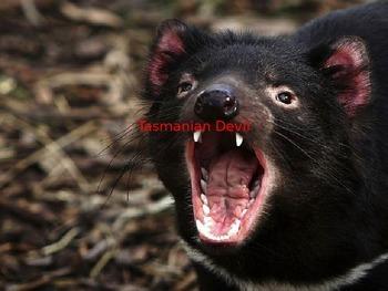 Tasmanian Devil - Power point - information facts pictures