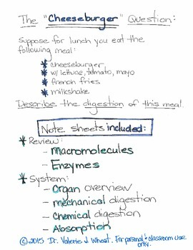 The Cheeseburger Question - Notes on the Digestive System