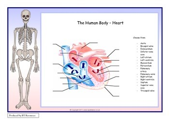 The Human Body - Heart