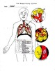 The Human Respiratory system #1