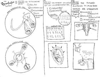 The Reproductive System coloring sheet