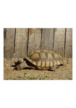 Photo Product- Tortoise