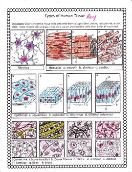 Histology: Types of Human Tissue