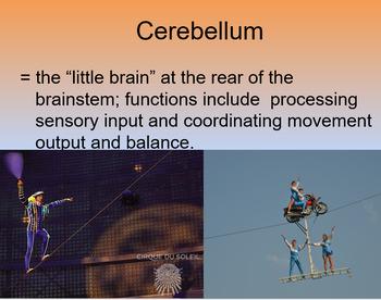 Unit 3B:Biological Bases of Behavior:The Brain