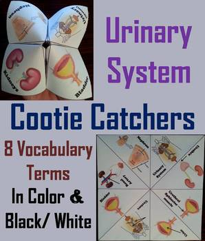 Urinary System Activity/ Foldable