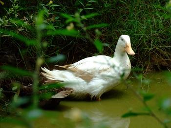 White Duck Bath 1