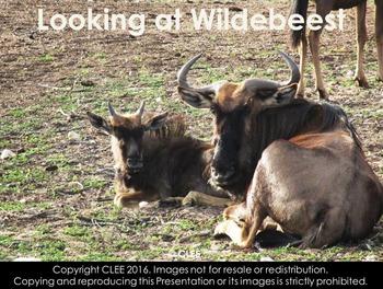 Wildebeest - Interactive PowerPoint presentation