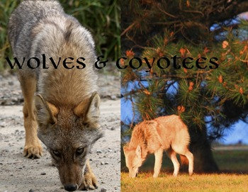 Wolves & Coyotes (photos for commercial use)