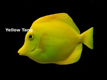 Yellow Tang - Fish Power Point - Facts Information Pictures