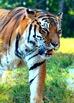 Zoo Animals - Stock Photos - Photo Pack Bundle - Tiger, Be